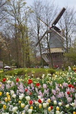 Tulips and Windmill(1) 2